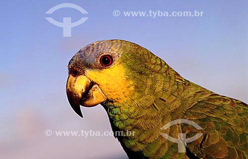 (Amazona amazonica) - Papagaio-do-Mangue - Brasil