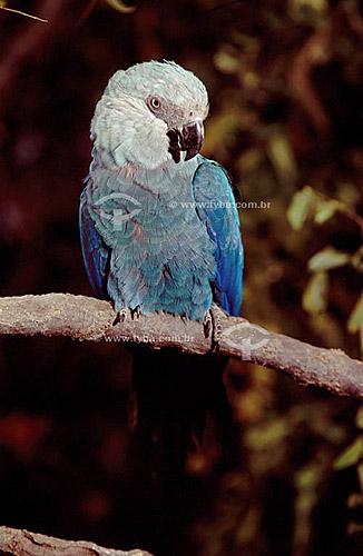 (Cyanopsitta spixii) Ararinha Azul - Brasil