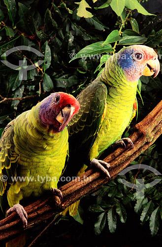 (Amazona brasiliensis) - Papagaio-de-Cara-Roxa ou Chauá - sul do Brasil   O trecho da Mata Atlântica que inicia-se na Serra da Juréia, em Iguape/SP e vai até à Ilha do Mel, em Paranaguá/PR é Patrimônio Mundial Natural da UNESCO desde 1999.   - Paraná - Brasil