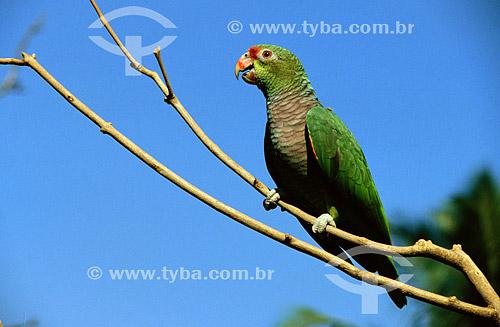 (Amazona vinacea) Papagaio-de-peito-roxo - distribuição no Sudeste do Brasil e no sul do Rio Grande do Sul  - Rio Grande do Sul - Brasil