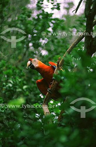 (Ara chloroptera) Arara Vermelha - Brasil