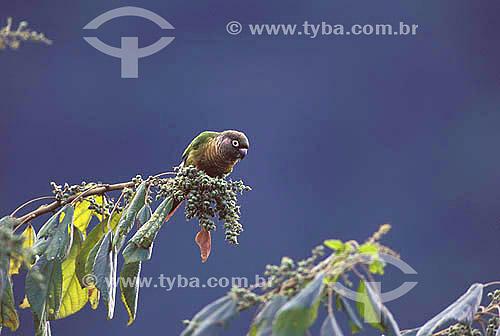 (Pyrrhura frontalis) Tiriba-de-testa-vermelha - Mata Atlântica do Sudeste do Brasil