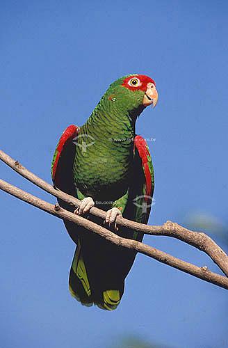 (Amazona pretrei pretrei) Papagaio da Serra ou Papagaio Charão - espécie endêmica e ameaçada de extinção - sul do Brasil