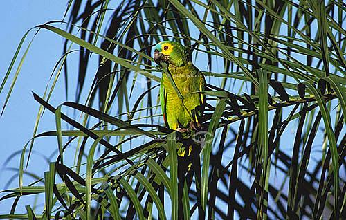 (Amazona aestiva) Papagaio Verdadeiro - Pantanal - Mato Grosso do Sul - Brasil  - Mato Grosso do Sul - Brasil