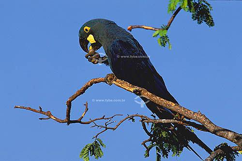 (Anodorhynchus leari) Arara-azul-de-lear - Caatinga - BA - Brasil  - Bahia - Brasil