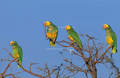 (Amazona xanthops) Papagaio-galego - Parque Nacional das Emas - Cerrado - GO - Brasil / Data: 2007