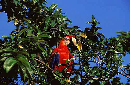 (Ara macao) Araracanga, Arara-canga,  Arara-pitanga ou Arara-Vermelha-Pequena - Amazônia  - Brasil