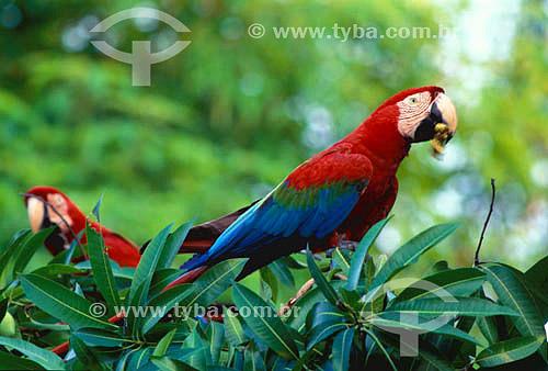 (Ara chloroptera) Arara Vermelha - Pantanal Matogrossense - Mato Grosso do Sul - Brasil A área é Patrimônio Mundial pela UNESCO desde 2000.  - Mato Grosso do Sul - Brasil
