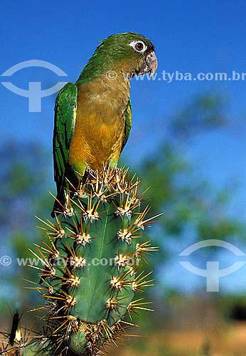 (Aratinga cactorum) Periquito-da-caatinga - Estação Ecológica de Aiuaba - CE - Brasil  - Ceará - Brasil