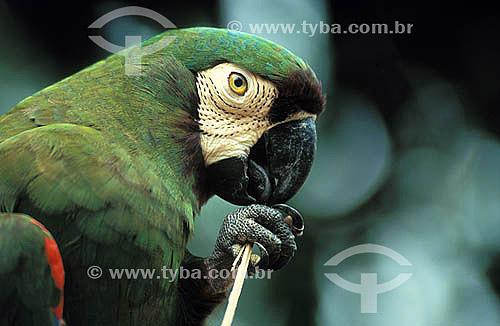 Maracanã-guaçu (Ara severa) - Arara -  Amazônia - Brasil  - Amazonas - Brasil