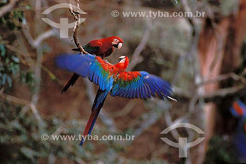 (Ara chloroptera) Casal de Araras-vermelhas no Buraco das Araras, perto de Jardim - Mato Grosso do Sul - Brasil  - Mato Grosso do Sul - Brasil