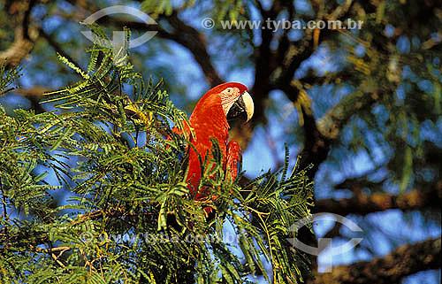 (Ara chloroptera) Arara Vermelha no Buraco das Araras, perto de Jardim - Mato Grosso do Sul - Brasil  - Mato Grosso do Sul - Brasil