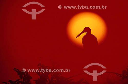 (Mycteria americana) - Silhueta de pássaro Cabeça-Seca, Jabiru ou Passarão - PARNA Pantanal Matogrossense  ao pôr-do-so - MT - Brasil  A área é Patrimônio Mundial pela UNESCO desde 2000.  - Mato Grosso - Brasil