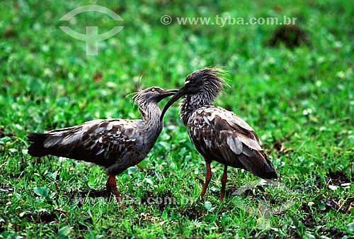 (Harpiprion caerulescens) Maçarico-real - Casal em cortejo - Pantanal Matogrossense - MT - Brasil A área é Patrimônio Mundial pela UNESCO desde 2000.  - Mato Grosso - Brasil