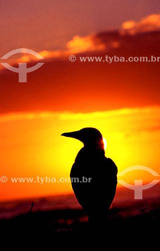 Silhueta de pássaro no pôr-do-sol  (Sula dactylatra) - Atobá mascarado ou (Sula leucogaster) - Atobá marrom -  PARNA de Abrolhos - BA - Brasil  - Caravelas - Bahia - Brasil