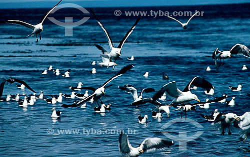 (Larus dominicanus) Grupo de Pássaros - Gaivotão - Sul do Brasil  - Brasil