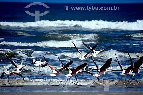 (Phoenicopterus ruber) - grupo de pássaros - Flamingo ou Flamengo ou Maranhão ou Guará, Ganso-do-Norte ou Ganso-Cor-de-Rosa - Praia do Oceano - Parque Nacional da Lagoa do Peixe - RS - Brasil  - Rio Grande do Sul - Brasil