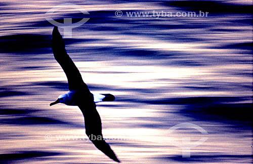 (Fam. Diomedea ) - vôo de  pássaro - Albatroz - ave oceânica - litoral  do RS - Brasil  - Rio Grande do Sul - Brasil