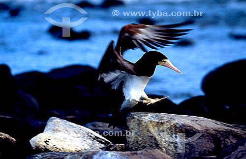 (Sula leucogaster)  Vôo de pássaro - Atobá-marrom - Arquipélago de Abrolhos - Costa das Baleias - litoral sul da Bahia - Brasil  O Parque Nacional Marinho de Abrolhos foi criado em 6 de abril de 1983.  - Caravelas - Bahia - Brasil