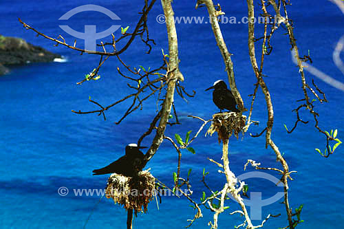 (Anous minutus) Trinta-réis-preto no ninho - Ilha de Fernando de Noronha - PE - Brasil  O arquipélago Fernando de Noronha é Patrimônio Mundial pela UNESCO desde 16-12-2001.  - Fernando de Noronha - Pernambuco - Brasil