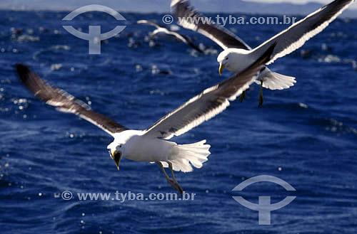 (Larus dominicanus) Gaivotas voando sobre o mar