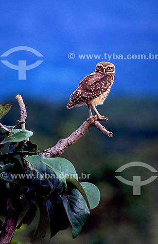 (Athenes cunicularia grallaria) - Coruja-do-Campo ou Coruja-Buraqueira - PARNA Chapada dos Veadeiros - GO - Brasil / Data: 12/1998