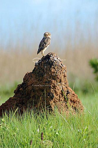Coruja-buraqueira sobre cupinzeiro em que faz seu ninho - Parque Nacional das Emas - GO - Brasil  O Parque é Patrimônio Mundial pela UNESCO desde 16-12-2001.  - Goiás - Brasil