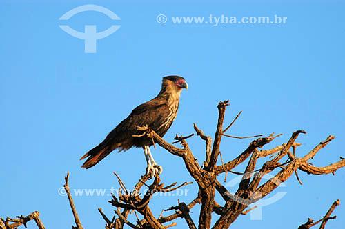 (Polyborus plancus) Gavião Carcará no Parque Nacional das Emas - Goiás - Brasil   O Parque é Patrimônio Mundial pela UNESCO desde 16-12-2001  - Goiás - Brasil