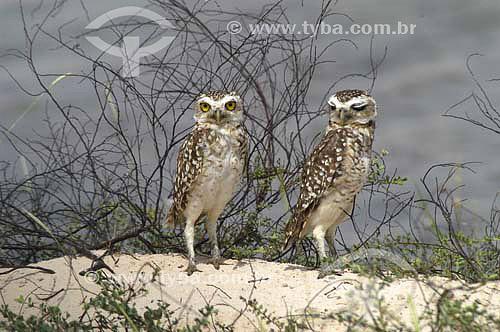 (Speotyto cunicularia) Coruja-buraqueira em Santo Amaro do Maranhão - Maranhão - Fevereiro de 2006  - Santo Amaro do Maranhão - Maranhão - Brasil
