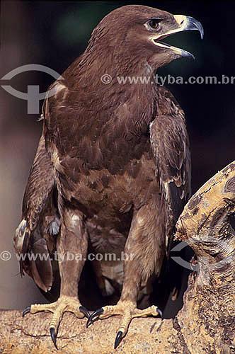 Águia-rapace (Aquila rapax) - África