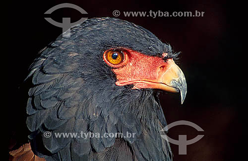 Águia Bateleur (Terathopius ecaudatus) - África