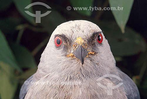 Gavião Sauveiro ou Sovi (Ictinia plumbea) - Brasil