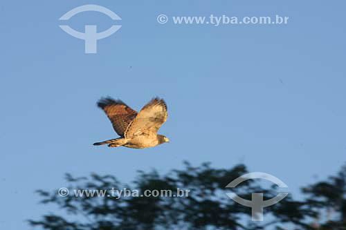Águia voando - Rio Paraguai - Mato Grosso - Brasil  - Mato Grosso - Brasil
