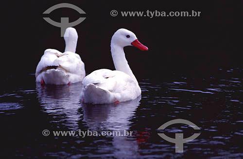 (Coscoroba coscoroba) - pato que habita os banhados sulinos - sul do Brasil