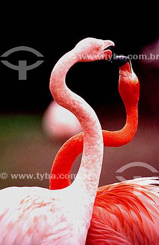 (Phoenicopterus ruber) Flamingo ou Flamengo, Maranhão, Guará, Ganso-do-norte ou Ganso-cor-de-rosa - dupla ou casal de pássaros se acariando - Brasil  - Mato Grosso - Brasil