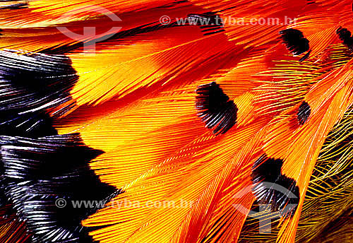 (Onychorynchus coronatus) Maria-lecre ou Maria-leque - detalhe de plumagem de pássaro - Mata Atlântica - Serra do Mar - Paraná - Brasil / Data: 1996