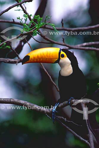 (Ramphastos toco) Tucanuçu - Pantanal Matogrossense - MT - Brasil  A área é Patrimônio Mundial pela UNESCO desde 2000.  - Mato Grosso - Brasil