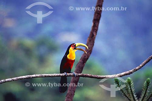 (Ramphastos dicolorus) Tucano-de-bico-verde - Mata Atlântica na Serrinha do Alambari - RJ - Brasil  - Rio de Janeiro - Brasil