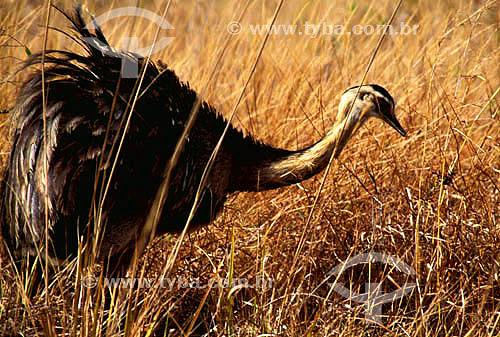 (Rhea americana) Ema - Parque Nacional das Emas - Goiás - Brasil  O Parque é Patrimônio Mundial pela UNESCO desde 16-12-2001 / Data: 2007