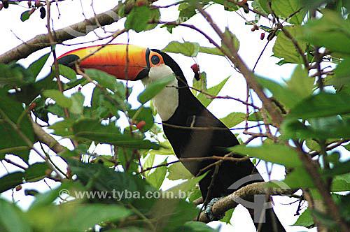 Tucano - Parque Nacional das Emas - GO - Brasil   O Parque é Patrimônio Mundial pela UNESCO desde 16-12-2001 / Data: 2005