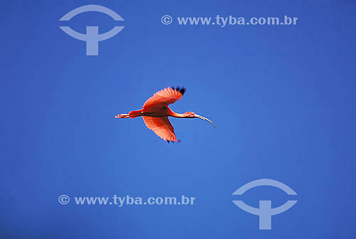 Guará (Eudocimus ruber) voando - Amazônia - Pará - Brasil  - Pará - Brasil