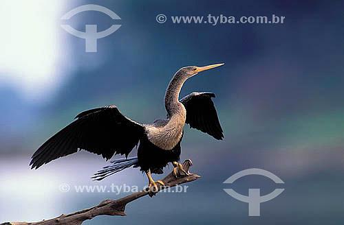 (Anhinga anhinga) Biguatinga secando as asas - Reserva de Desenvolvimento Sustentável Mamirauá - AM - Brasil  - Tefé - Amazonas - Brasil