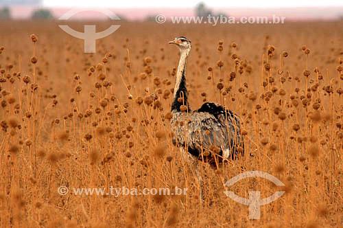 (Rhea americana) Ema - Parque Nacional das Emas - Goiás - Brasil   O Parque é Patrimônio Mundial pela UNESCO desde 16-12-2001  - Goiás - Brasil