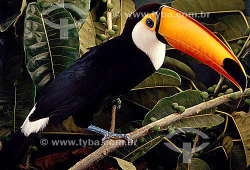 (Ramphastus toco) Tucanuçu ou Tucano-Toco ou Tucan Grande ou Tucano-Açu - pássaro em close - habita várias regiões do Brasil