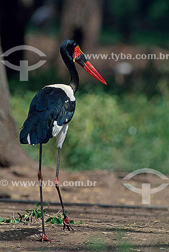 Jaburu Africano (Ephippiorhynchus senegalensis) - África