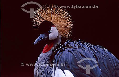 Grou Coroado (Balearica regulorum) - Tanzânia - África