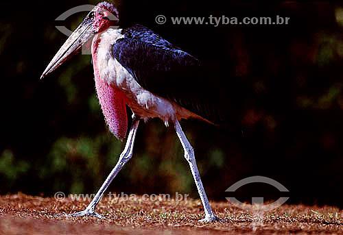 Marabu Africano (Leptoptilos crumeniferus) - África