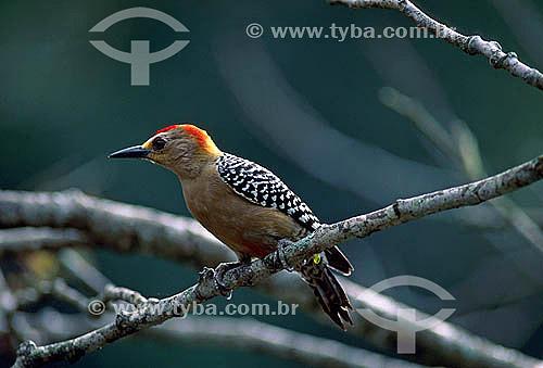 Pica Pau de Coroa Vermelha (Melanerpes rubricapillus) - Parque Nacional Henri Pittier - Estado de Aragua - Venezuela