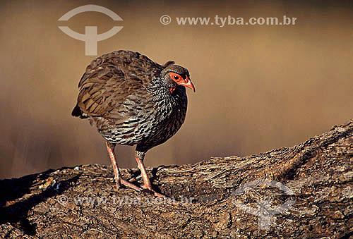 Francolino de Pescoço Vermelho (Francolinus afer) - África