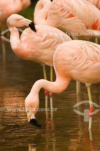 Flamingo ( Phoenicopterus ruber roseus) no Parque das Aves - Foz do Iguaçu - PR - Brasil  - Foz do Iguaçu - Paraná - Brasil